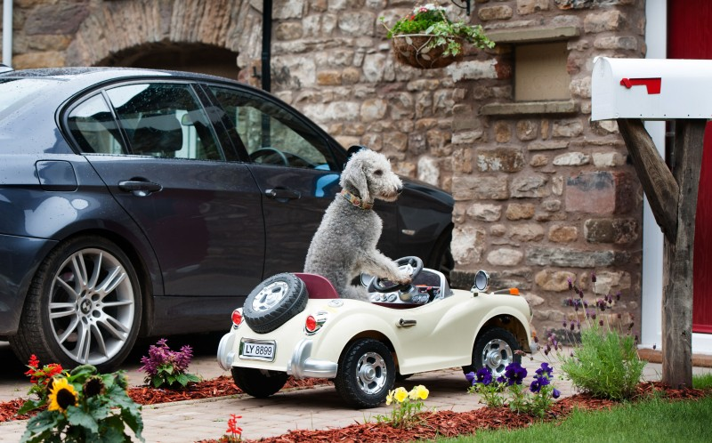 Barry the Bedlington Terrier, sat on his driveway  in his Rolls Royce, Kirkby Stephen Cumbria