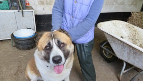 PIC FROM MERCURY PRESS (PICTURED: The 'world's biggest puppy' Tzar, who is 10st at 10 months old is being kept at West Yorkshire Dog Rescue)  A small dog rescue centre has been landed with the 'world's biggest puppy' – who is whopping 10 stone at just 10 months old. The giant pooch, named Tzar, is a Caucasian Ovcharka and was handed to the charity by a man who had paid £3,000 to import the rare breed from his native Russia. Tzar is expected to grow to a staggering 16 stone and comes from a line of dogs that hunted bears and wolves. SEE MER