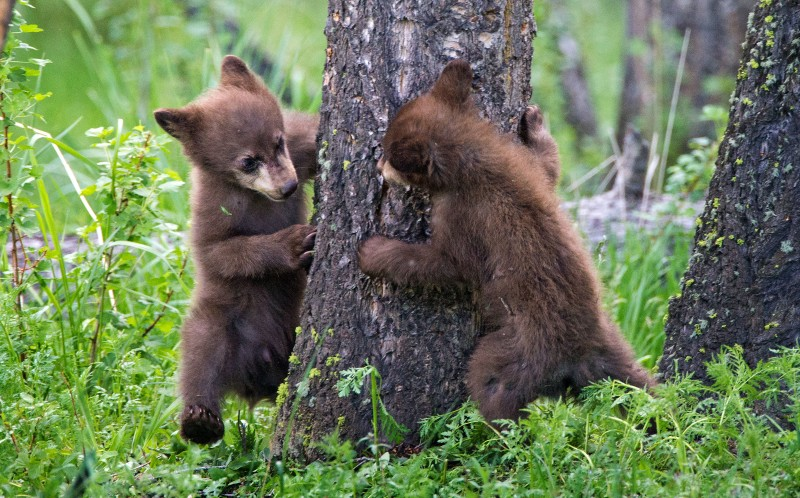 The two cubs playing Peek-a-boo behind the tree