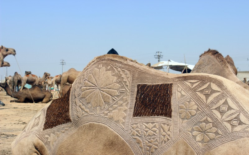 The incredible camel art at the festival