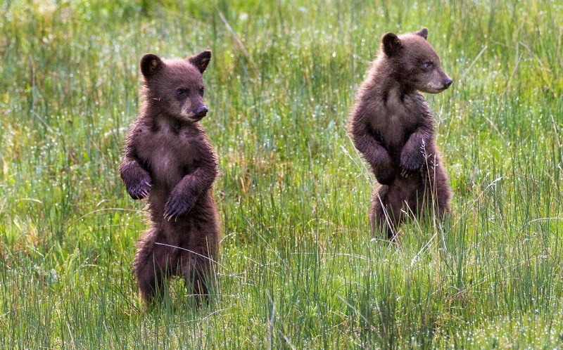 The two cubs playing together