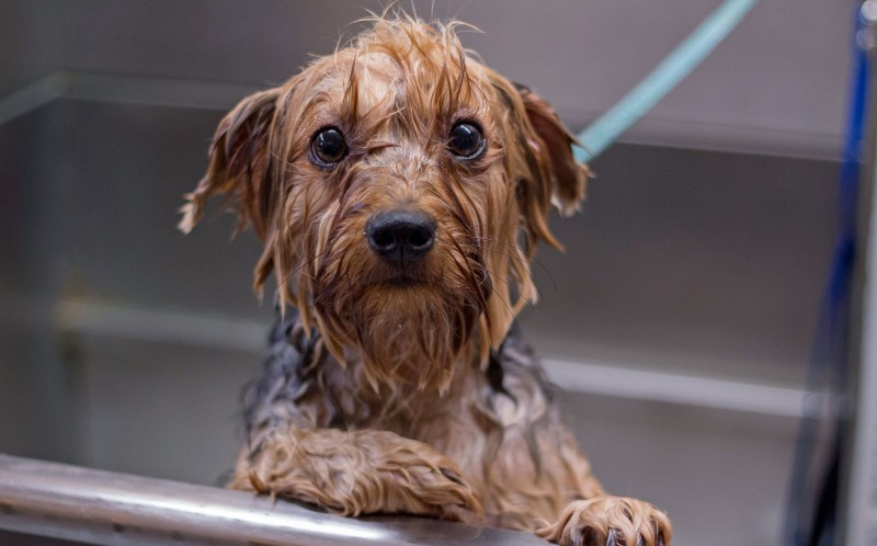 A wet dog before being dried off, Yorkshire Terrier