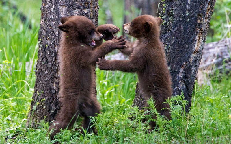 Adorable Snaps Of Bear Cubs Playing Peek A Boo Will Melt