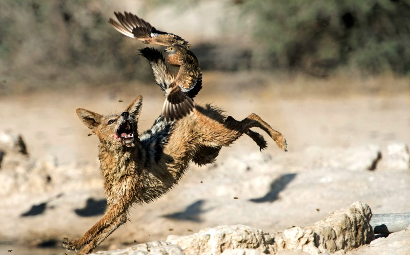 The bird manages to escape the jaws of the jackal every time
