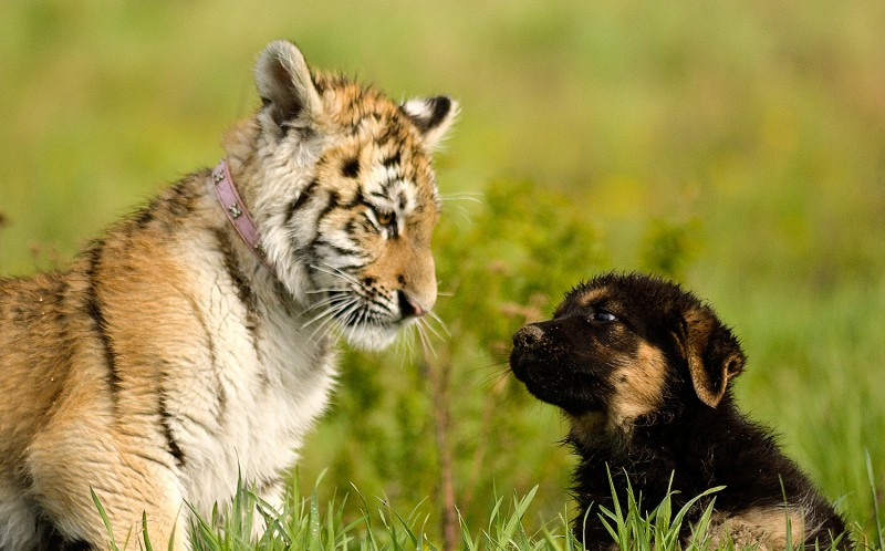 Suria with Hugo when they were a cub and puppy respectively
