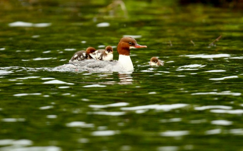 The 16 ducklings riding on their mothers back