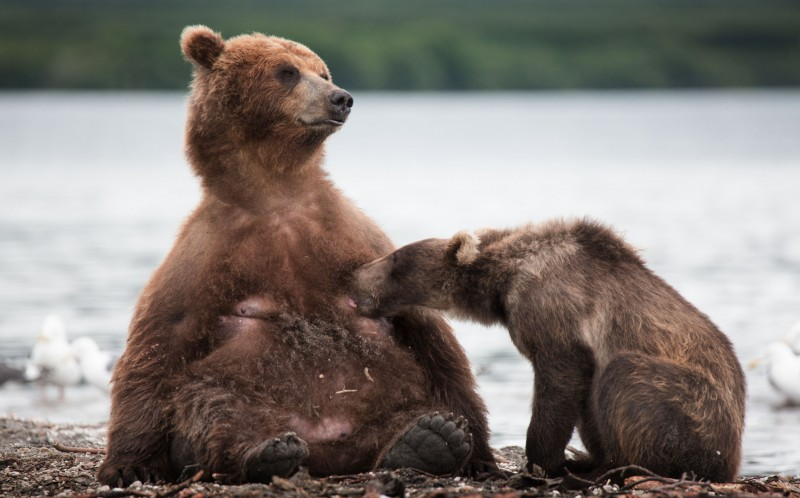 The bear sucks for milk off his mother