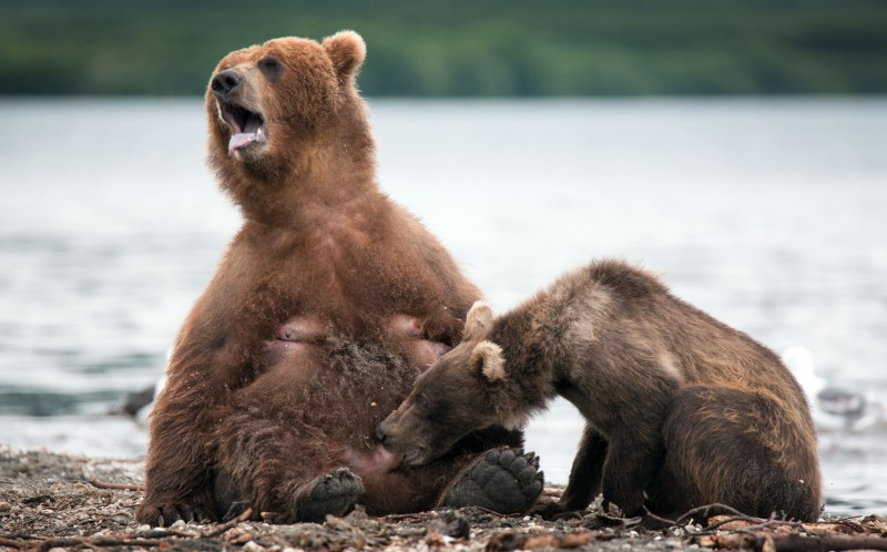 The bear nips his mother and she yelps out in pain