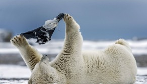 The polar bear examines the material which looks like some pants