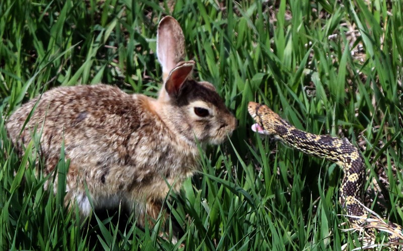 You Mussssst Be Hopping Mad Rabbit And Snake Go Head To