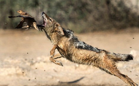 The jackal lunges at the bird to try and get a meal