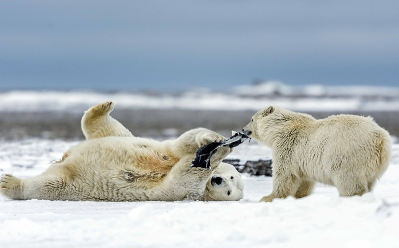 The cub tries to take the material off the polar bear