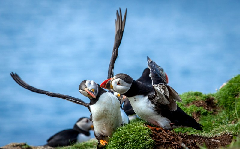 A puffin spurns the advances of its would be mate