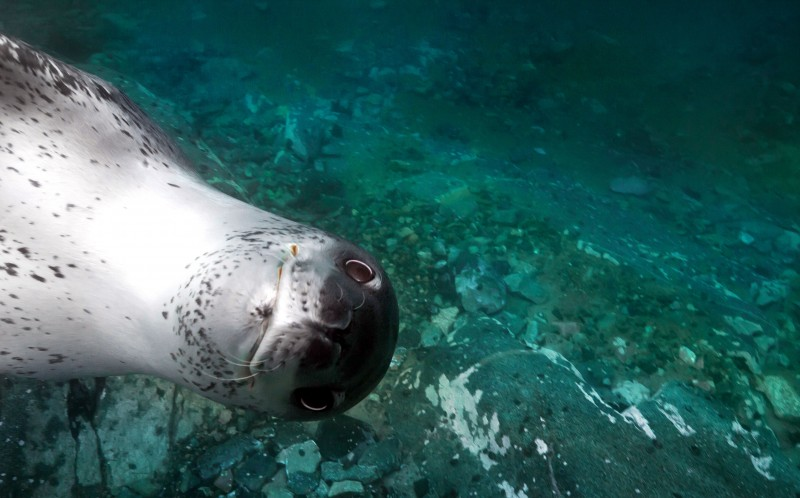 The cheeky leopard seal pops into the frame of one of Alexandre Voyers photographs