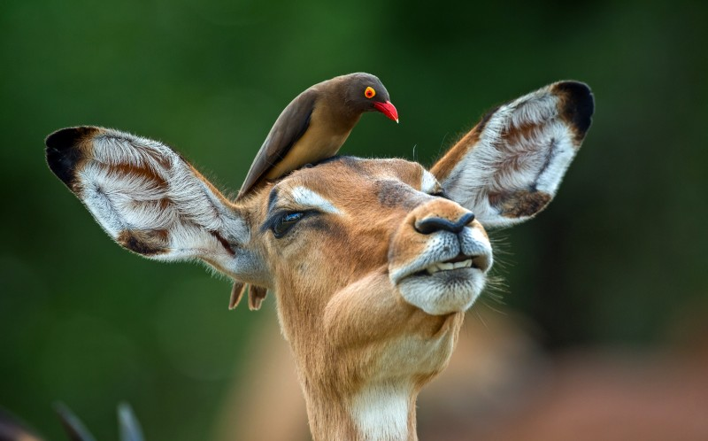 he hilarious images show the oxpecker giving the impala a massage