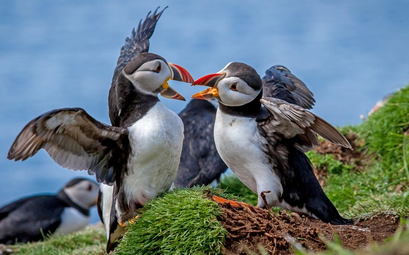 The two puffins appear to argue over the rejected peck on the cheek