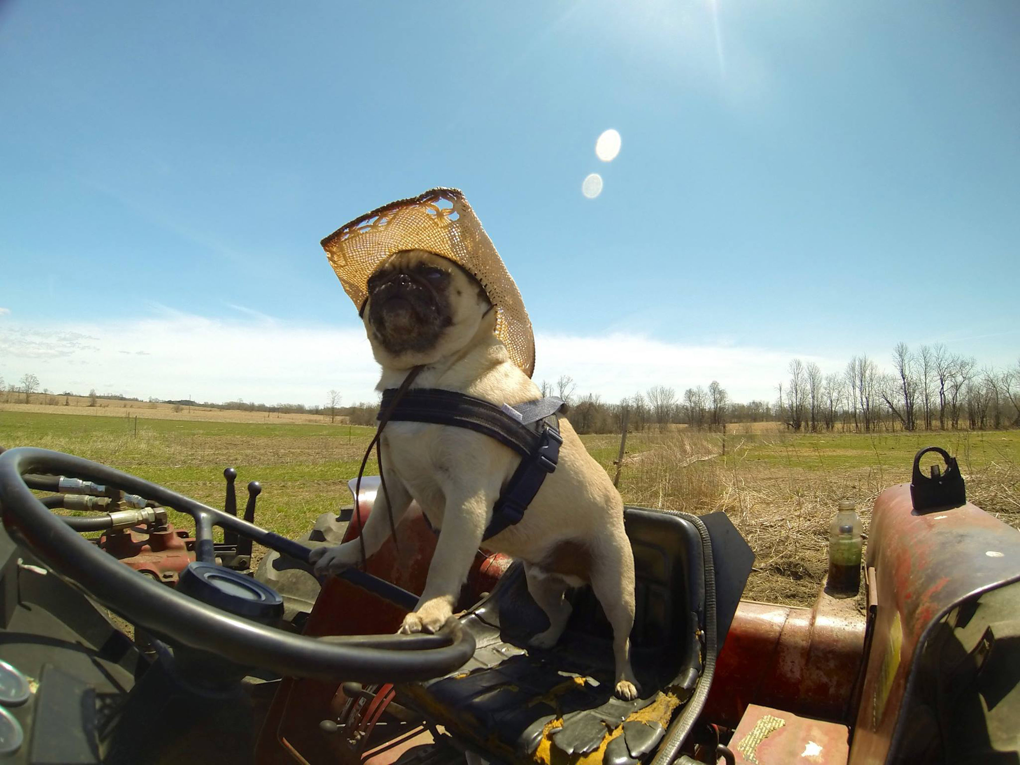 Atom the pug drives a construction truck, rides a horse and