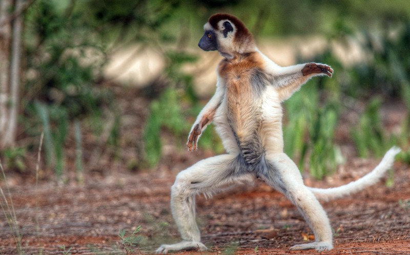 The lemur shows off his moves