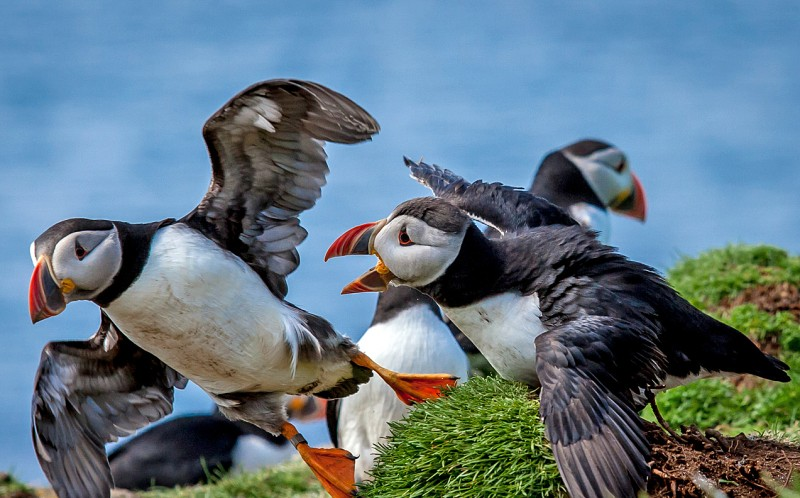 A puffin flies away as the would be mate looks on