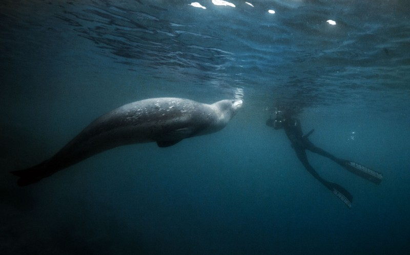 The leopard seal swims around Alexandre Voyer, getting up close and personal