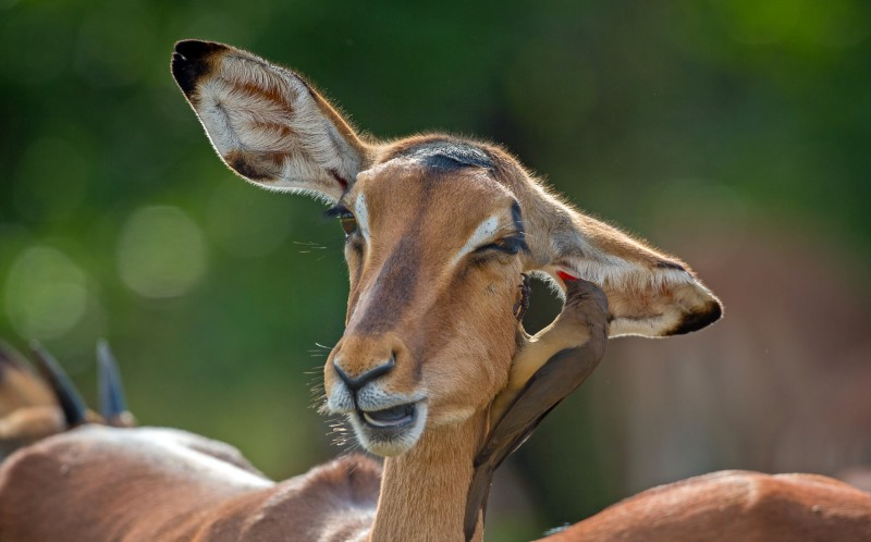 The hilarious images show the oxpecker giving the impala a massage