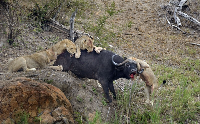 The buffalo impaling the lion and not giving up during the fight
