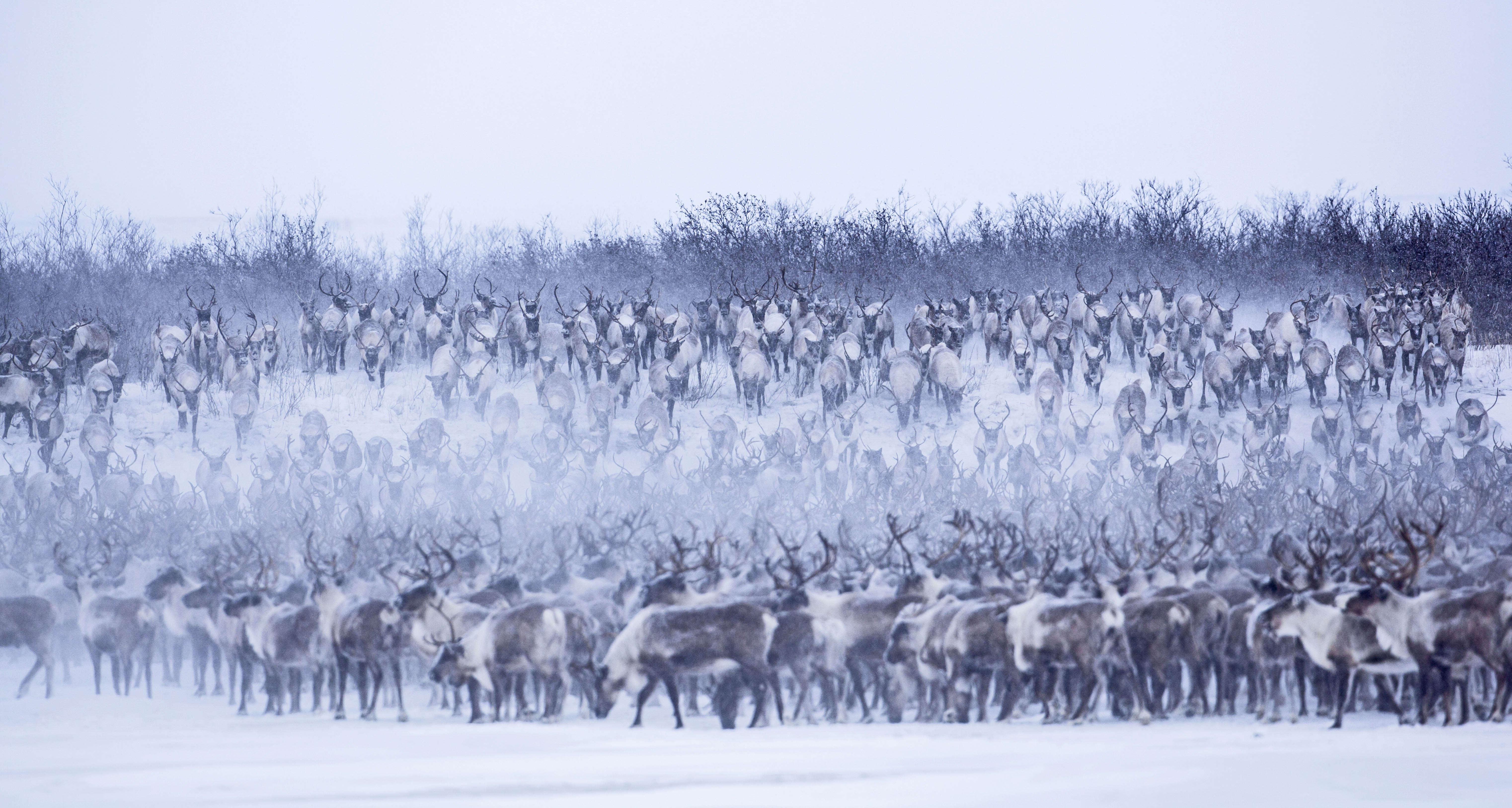 Reindeer are a species of deer located in the Arctic regions of the world The largest Reindeer can reach up to four feet high at the shoulder and weigh as much as 250 pounds