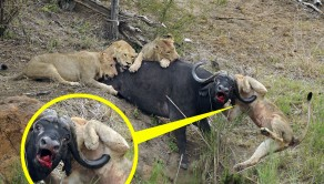 PIC BY / CATERS NEWS - (PICTURED: The buffalo impaling the lion and not giving up during the fight) - This lion got slightly more than it bargained for after it tried to take down a water buffalo. The painful incident occurred when a pride of hungry lions were on the hunt and the young male ended up getting hooked on the buffalos horn for twenty minutes. The cape bull buffalo had been on its own when the five lions got their claws into it, but it still took an incredible hour and a half for them to finally bring the big beast crashing down. The entire scene was captured by Roan Ravenhill, 28, who works as a ranger at the Mala Mala Game Reserve, South Africa, who was about 20 metres away for the entire attack. SEE CATERS COPY.