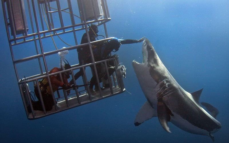 Daredevil divers teasing a great white shark