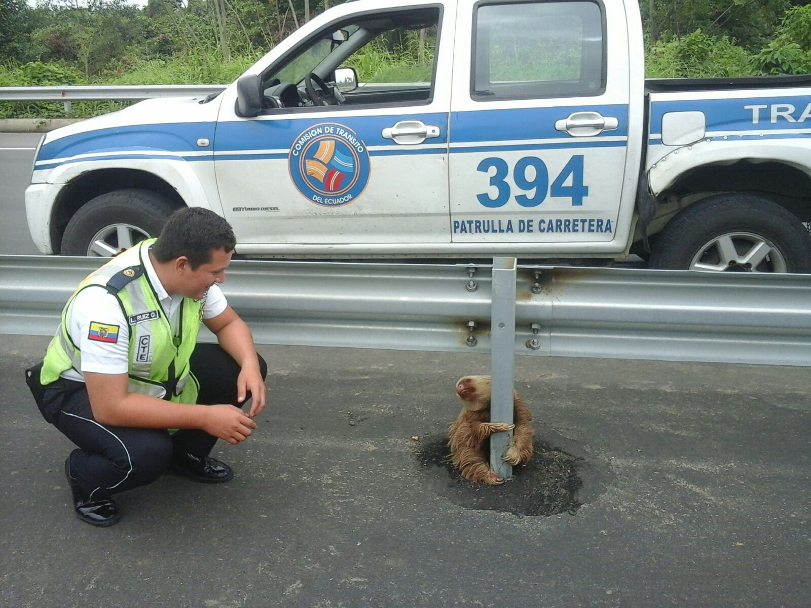A lost sloth on the side of a road in the Los Rios provide in Quevedo. Ecuador