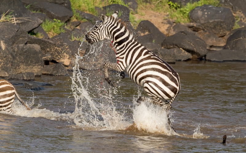The zebra manages to escape the jaws of a crocodile