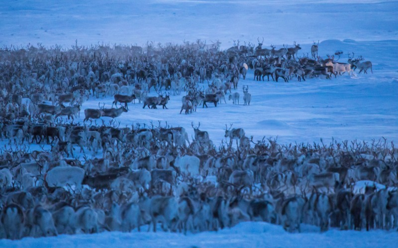 The breathtaking images which show the reindeer migrate over Norway