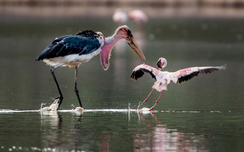 The marabou starts to attack the stork