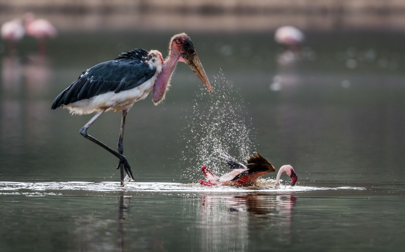The marabou throws the stork on the ground