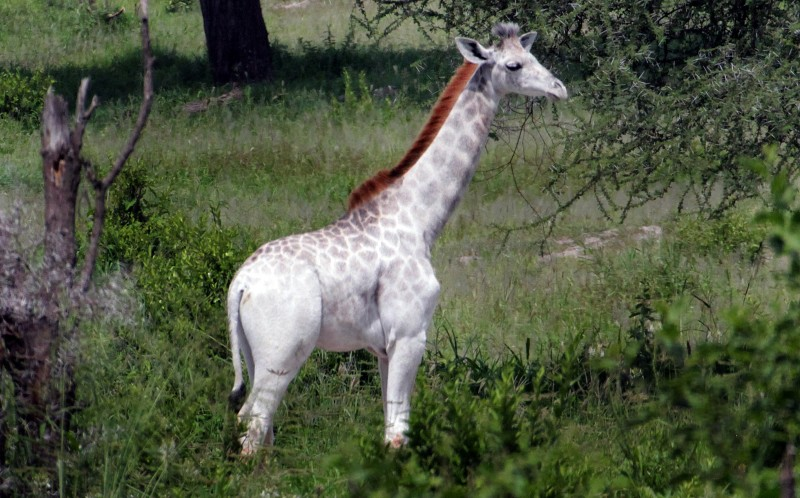 Omo the white giraffe