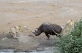 The lions chasing after the Rhino as it gets out of the watering hole