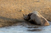 The rhino trying to get out of the water hole