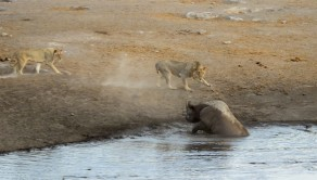 The lions getting closer to the rhino as it is stuck in the watering hole