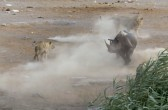 Rhino manages to escape