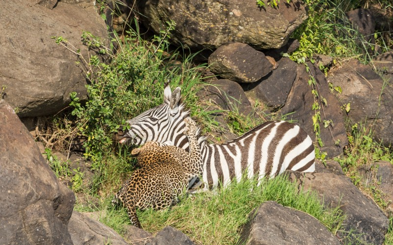 The zebra walks into the jaws of a leopard