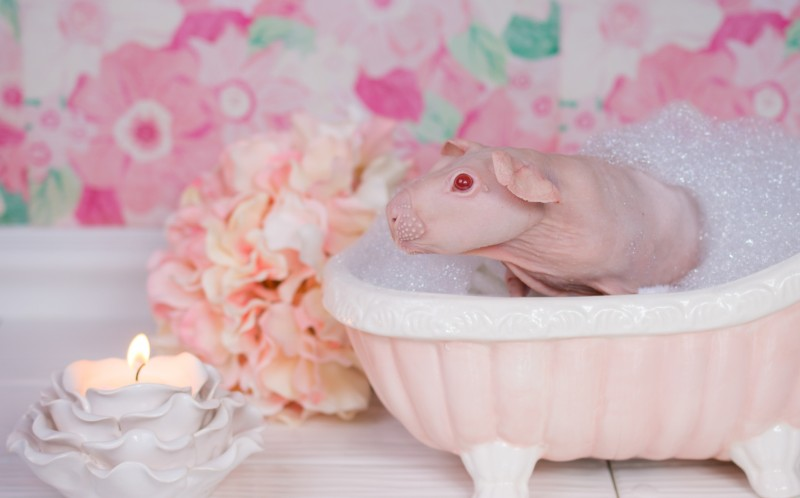 A hairless guinea pig sits in a bubble bath in a spa like setting.