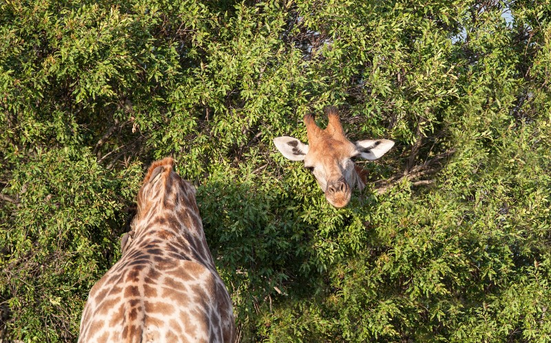 PIC BY RUDI HULSHOF/ CATERS NEWS - (PICTURED: A magic trick from the giraffe) - PEEK-A-BOO! This giraffe must have one long neck to be able to poke its head out of the bush in which his body is submerged.  But the comical moment is not all it seems, but rather a perfectly timed coincidence, as head and body dont belong to the same giraffe.  Photographer Rudi Hulshof was lucky enough to capture the incredible moment at Royal Maleware Lodge, South Africa.  The nature guide, 38, was leading guests on a wildlife photographic safari when he spotted the two giraffe bulls sparring. SEE CATERS COPY.