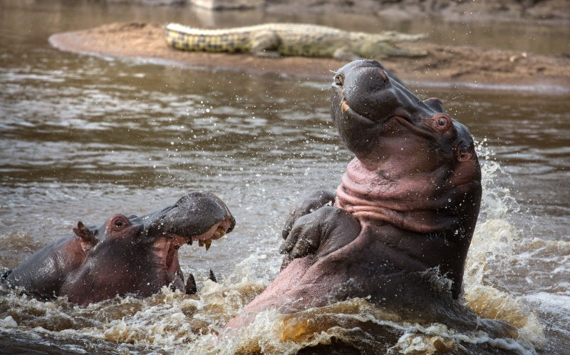 A over dramatic hippo falls backwards during a confrontation with a rival