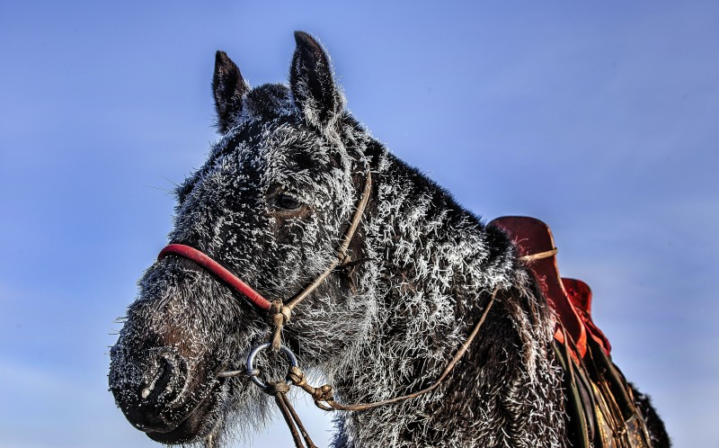 The fur of a horse ices up in the -40 cold of Mongolia