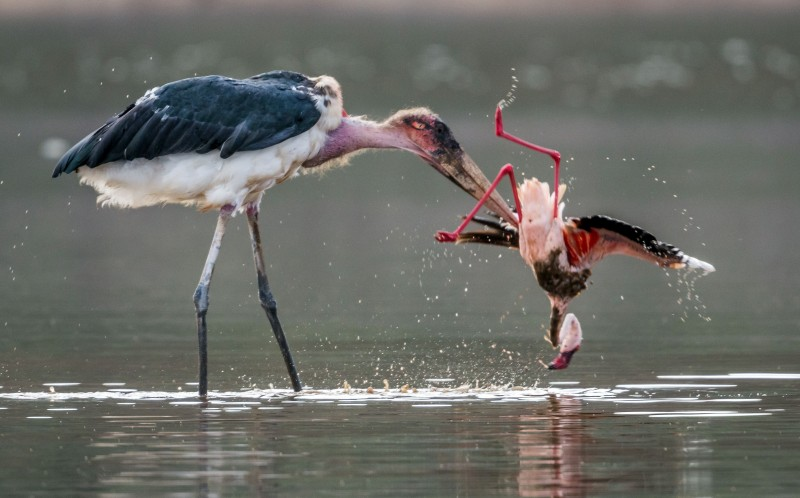 The flamingo is helpless compared to the strong stork