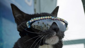 PIC BY CATERS NEWS - (Pictured: Sunglass Cat - actual name Bagel) - A cool cat has become a social media sensation thanks to her need to wear SUNGLASSES. Adorable Bagel - known to her thousands of followers as Sunglass Cat - was born without any eyelids and is unable to develop tears. She has had three surgeries to help her condition, but with no eyelids owner Karen McGill has to apply eye drops several times a day. A decision was also made by Karen, 48, and Bagels vet that wearing sunglasses would help protect Bagels eyes. - SEE CATERS COPY