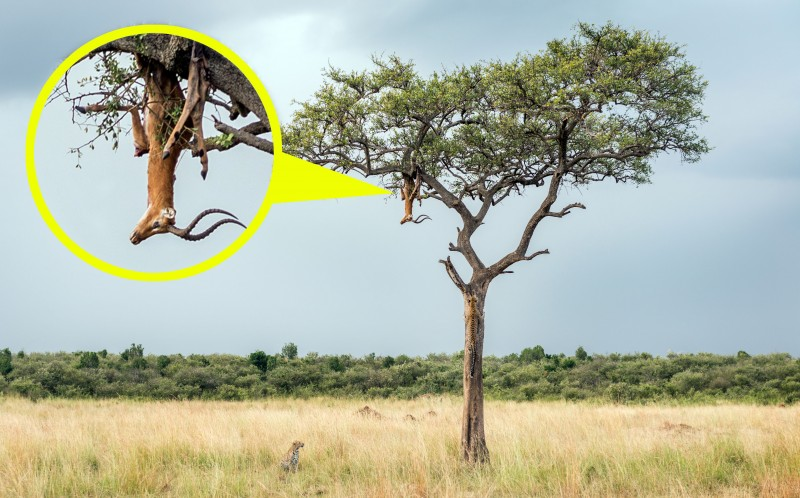 The body of an impala hangs from a tree