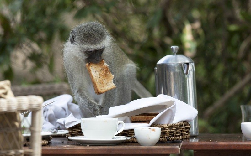 The monkey steals the toast
