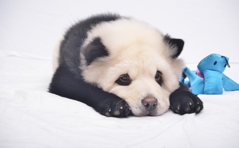 Adorable Dogs Dyed To Look Like Pandas