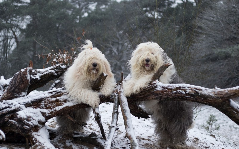 Sophie and Sarah, the sheepdog sisters, enjoying the snow